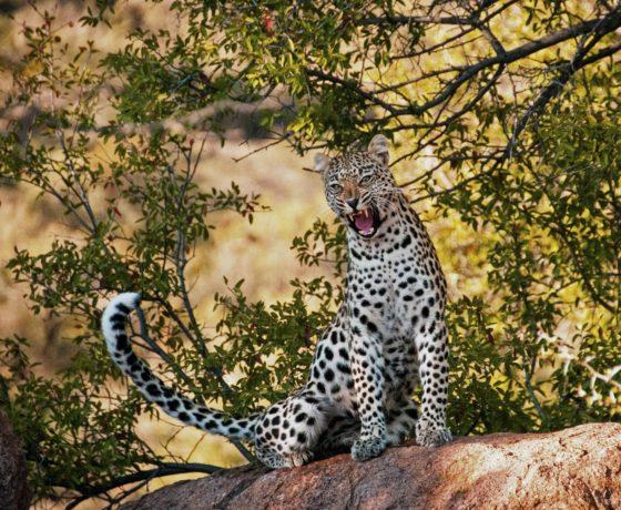Ghepardo Safari