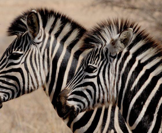 Zebre Kenya Safari